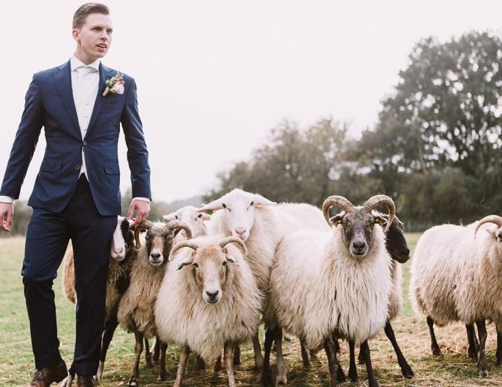 Gewoon omdat het kan: schapen drijven op de bruiloft!